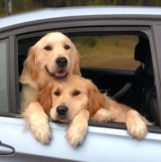 For dog lovers . Golden Retriever Puppies glued together . Retriever Puppy, Dogs Golden Retriever, Golden Retrievers, Cute Dogs And Puppies, I Love Dogs, Doggies, Beautiful Dogs, Animals Beautiful, Sweet Pictures
