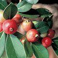 Strawberry Guava House Plants House and Patio Plants Gurneys Seed & Nursery