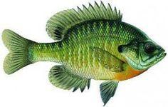 best-bait-for-fishing-bluegills
