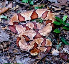 Northern Copperhead - In Virginia, adult Copperheads are very passive and rarely inject venom in the first bite they give. But keep disturbing one, and you'll soon end up in the hospital with a nasty, swelling wound. Babies (recognizable by their bright sulfur yellow tails) are quicker to bite and inject a large dose of venom on the first strike. In Virginia, venomous snakes share a set of characteristics that can help you distinguish them from non-venomous species: the scales under the tail...