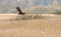 """""""the Marsh Harriers are flying well !!!"""" Allan King (@aluvmabirdsrab)"""