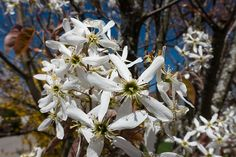 Amelanchier canadensis : arbre, plantation, culture