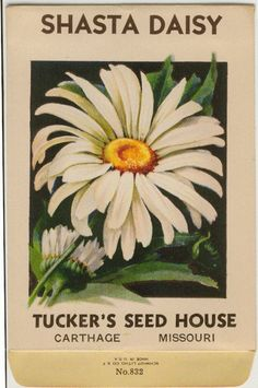 SHASTA DAISY (Chrysanthemum Leucanthemum) Vintage Flower Seed Packet Tucker's… Flower seeds, vegetable seeds
