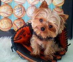 This Yorkie is a Chicago Cubs fan!