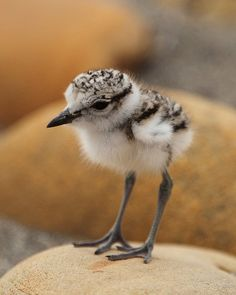 Kentish plover chick – - – squeee!