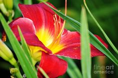 Lily Bloom Photograph  - Lily Bloom Fine Art Print