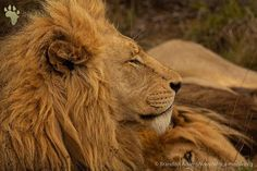 King of the jungle by . African Animals, Wildlife Photography, Lion, Nature, Instagram, Leo, Naturaleza, Lions, Nature Illustration