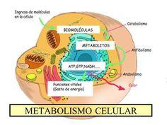Las 45 mejores imágenes de metabolismo celular..