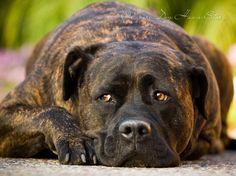 Mastiff #mastiff #dog http://www.everydoghasastory.com