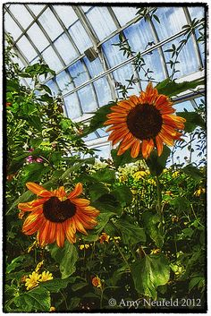 Sunflower photo taken at the NY Botanical Garden by Amy Neufeld. Ny Botanical Garden, Dandelion, Amy, Friends, Flowers, Plants, Amigos, Dandelions, Plant
