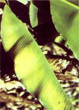 Banana Manganese