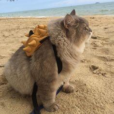 モフくて丸くてデカイ わたあめボディーの猫ちゃんが世界で話題 - ねとらぼ