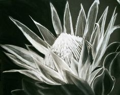 charcoal of king protea