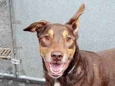 TO BE DESTROYED 8/1/14 Manhattan Center   My name is MAX aka CHANCE. My Animal ID # is A0725884 (alternate # A1007605). I am a male chocolate and tan doberman pinsch mix. The shelter thinks I am about 7 YEARS old.  I came in the shelter as a OWNER SUR on 07/22/2014 from NY 10473, owner surrender reason stated was ALLERGIES.