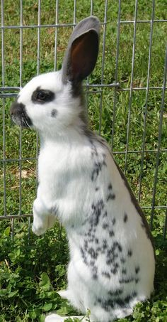 Breed: English Spot. 3rd all time favorite bunny breed