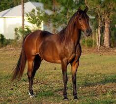 caballo pura sangre arabe - Buscar con Google