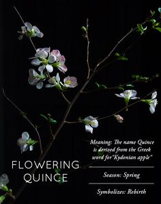 Design*Sponge | Flower Glossary: Flowering Quince