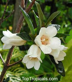Rothmannia globosa, BellGardenia Small everblooming tree with glossy leaves and off-white bell-shaped flowers, very fragrant. The fragrance is stronger than gardenia. One of the loveliest small trees for the home garden. The beautiful bell-shaped flowers borne singly in summer from December to February. They are creamy white with purplish red streaks and speckles inside the flower tube. They have a strong sweet scent, which lingers even after they dry.