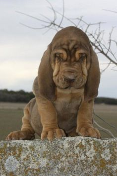 Liver & tan bloodhound puppy - Boerner's Bloodhounds