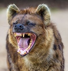 When chased by hunting dogs, spotted hyenas often turn on their attackers, unless the dogs are of exceptionally large, powerful breeds. In one recorded incident a hyena managed to kill a dog with a single bite to the neck without breaking the skin. Further difficulties in killing spotted hyenas with dogs include the species' thick skin, which prevents dogs from inflicting serious damage to the animal's muscles.