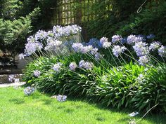 agapanthus. light + dark blue. Likes quite a bit of shade.