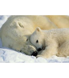 A stunning National Geographic image of a polar bear cub, cuddling with its mama bear becomes an irresistible wall mural. Perfect as a kids mural, or for any nature lover, this polar bear wall art cap                                                                                                                                                                                 More