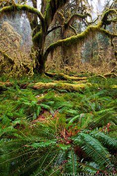 Misty Hoh, Hoh Rainforest, Olympic National Park, Washington, USA by Alex Mody. #experiencewa #washington #wa #pnw #pacificnorthwest #olympic #natoinalpark #moss #nature
