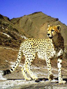 Asiatic Cheetah, Maine Coon, Cheetahs, Leopards, Animals Of The World, Nature Wallpaper, Marine Life, Big Cats, Predator