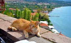 Cat from Molyvos, Lesbos