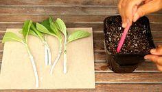 Propagate Hydrangea cuttings in 2 easy steps and multiply your favorite beautiful Hydrangea plants for free! Plus a FAIL PROOF propagation secret! Propagating Hydrangeas, Plants Under Trees, Growing Peonies, Ponds Backyard, Backyard Ideas, Garden Ideas, Propagation, Cuttings, Container Gardening Vegetables