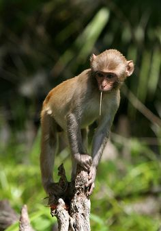 """Wait, There are Monkeys in Florida? """"Young feral monkey on a cypress knee, along the Silver River."""" Photo by anoldent Monkey Statue, Snow Monkeys, Macaque Monkey, Cypress Knees, Down South, Primates, Teenagers, Florida, River"""