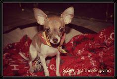 Suzy's First Thanksgiving! #puppy #dogchild #firstthanksgiving