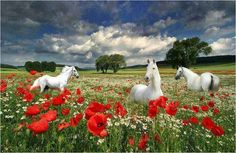 Red flowers and horses