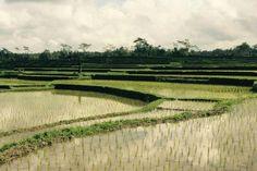 1 Bali Reisfelder