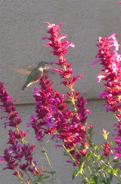 Sonoran Sunset Hyssop - heat-tolerant and drought-tolerant, attracts hummingbirds, butterflies, and bees.