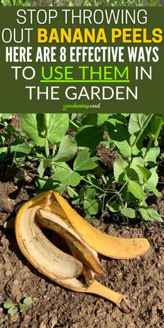 Stop Throwing Out Banana Peels. Here Are 8 Effective Ways to Use Them in The Garden Garden Soil, Garden Care, Lawn And Garden, Smart Garden, Organic Soil, Organic Gardening Tips, Desert Gardening, Fertilizer For Plants, Organic Fertilizer