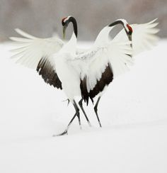 courtship dance │ Japanese crane
