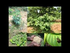 Medicinal Rice B4 Formulations for Burns: Pankaj Oudhia's Medicinal Plan...