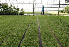 New Natives owner Sandra Ward walks through a greenhouse filled with organic micro greens on Friday at the New Natives farm in Aptos. (Kevin Johnson/Sentinel)
