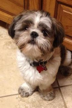 New | Shih Tzu Friendzy