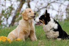 PoeticGold Farm Dog Training & Golden Retrievers, Falmouth, Maine