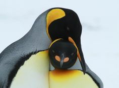 How cute are these King Penguins? #PenguinAwarenessDay