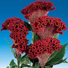 Cockscomb Bombay Dark Red - A crested Celosia (Cockscomb) with ribbony orange and dark red blooms; very early and long-lasting fresh or dried.