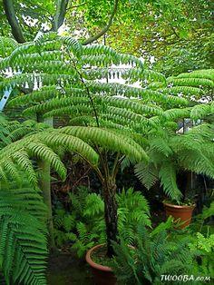 fibrosa D. squarrosa C. tomentosissima, small C.australis C. Ferns Garden, Bamboo Garden, Fern Plant, Trees To Plant, Tropical Plants, Tropical Gardens, Tree Fern, My Secret Garden, Water Features