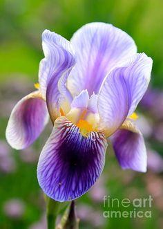 """Iris Aglow"" by Carol Groenen #iris #irises #springflowers #springart #springcards #carolgroenen"