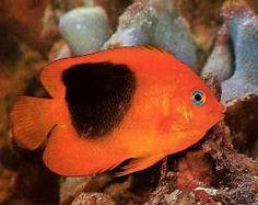 pez belleza de roca
