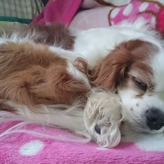 #わんこ #ワンコ #いぬ #犬 #いぬ🐶 #愛犬 #愛犬🐶 # #キャバリア #ブレンハイム #キャバリアキングチャールズスパニエル #キャバリアブレンハイム #かわいい #cavalierkingcharlesspaniel #cavalier #cavalife #blenheim #dog #mydog #doggy #followme #cute #dog🐶