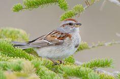 Dotty ~ American Tree Sparrow | Audubon Field Guide