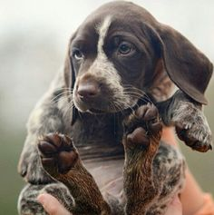German Shorthaired Pointer pup!