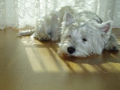 Westies~ especially my baby, Romeo